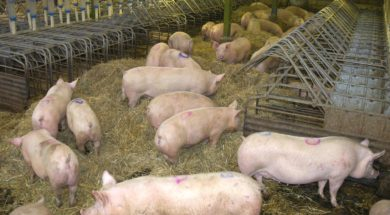 animal equality pig farms