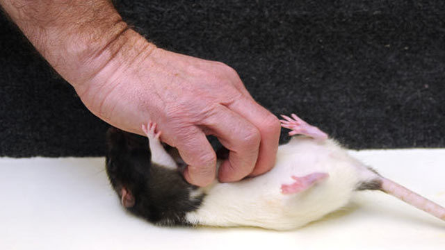 Fun Story: This Is What Happens When you Tickle A Rat